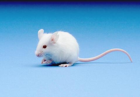chimeric mouse