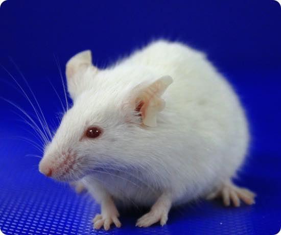 pxb-mouse